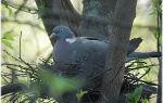 Все о лесных голубях