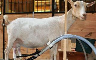 Разбираемся в устройстве доильного аппарата для коз и собираем своими усилиями