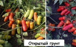 Описание и выращивание томата «жигало»