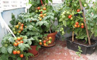 Все о выращивании и уходе за помидорами «балконное чудо»