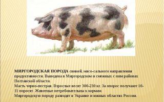 Породы свиней сального направления