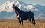 Кабардинская порода лошадей – гордость кавказа
