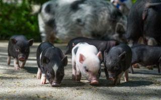 Вьетнамские свиньи – обзор породы и уход за поросятами