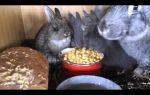 Кормление кролика горохом