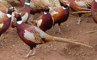 Практичные советы по разведению и содержанию фазанов в домашних условиях