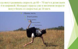 Какую скорость развивает страус и как он это делает