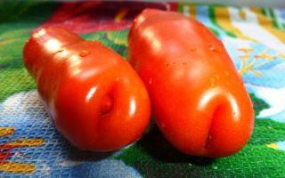 Удивителен и необычен – описание томата сорта «аурия»
