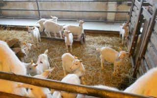 Обзор и разведение пород мини-коз