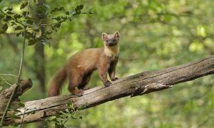 Дикий лесной хорек – чем питается и как живет