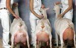 Сколько лет живут домашние дойные козы и как повлиять на это