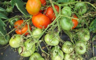 Описание и характеристика томатов «монгольский карлик»