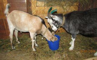 Как и чем кормить козу перед окотом: составляем рацион