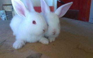 Полная информация о кроликах породы белый великан