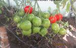Описание сорта томатов «тарасенко юбилейный»