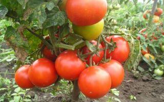Описание и характеристики универсального сорта томатов – «боец» («буян»)