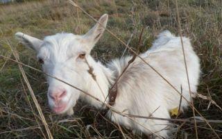 Горьковские козы – неприхотливые и продуктивные