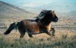 Монгольские скакуны – все о породе