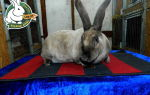 Особенности разведения и описание кроликов рекс