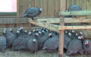 Разведение и содержание царской птицы в домашних условиях для начинающих