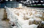 Планирование и создание бизнеса на козьей ферме – с чего начать?