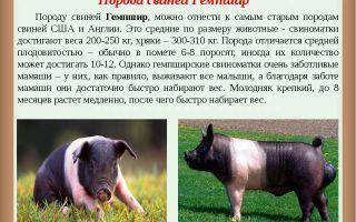Описание и характеристики гемпширской породы свиней