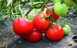 Описание и выращивание раннего сорта томатов «большая мамочка»