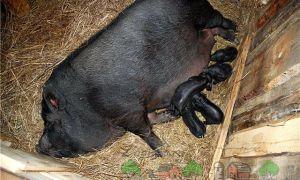 Принятие опороса у вьетнамских свиней в домашних условиях
