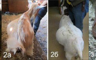 Болезни коз, симптомы и лечение, полный разбор