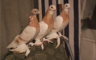 Все о туркменских голубях агаранах