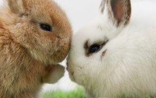 В чем различия между обычными и декоративными кроликами и как их отличить