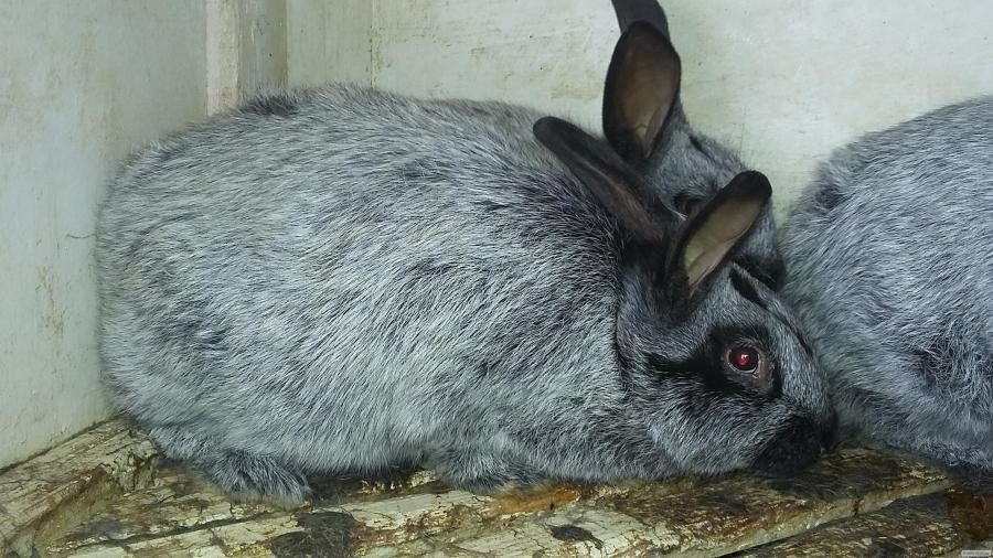 порода кроликов серебро с фото и описанием последнее время