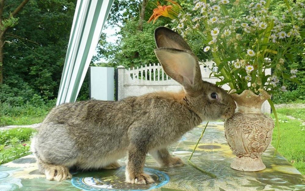 Кролики породы обер описание