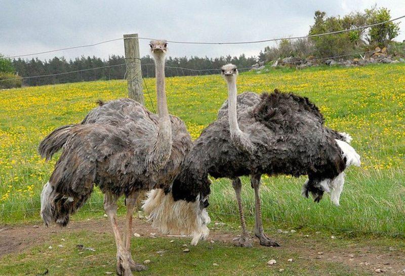 Особенности кожи страуса и для чего ее используют