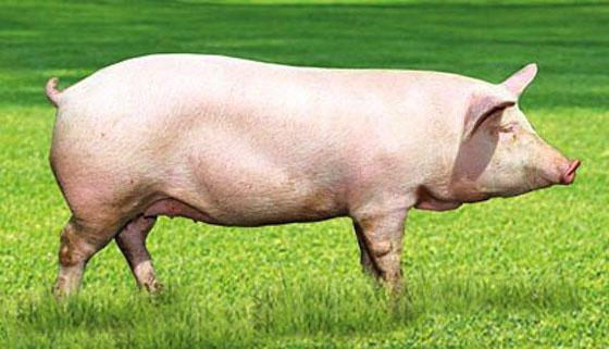 Сколько мяса с одной свиньи